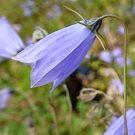 CAMPANULA cochlearifolia Blue Baby