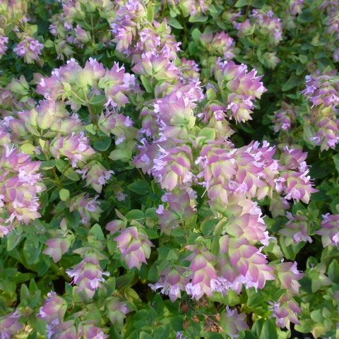 ORIGANUM Dingle Fairy