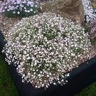 GYPSOPHILA repens Dorothy Teacher
