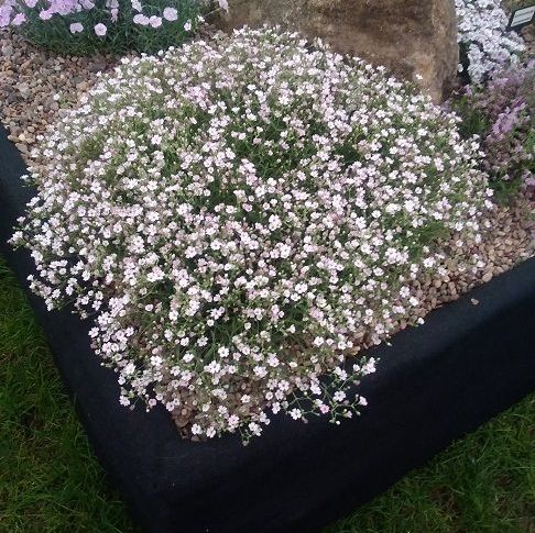 GYPSOPHYLLA repens Dorothy Teacher