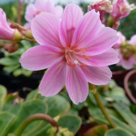 LEWISIA cotyledon (Pink shades)