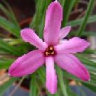 X RHODOXIS Hebron Farm Pink