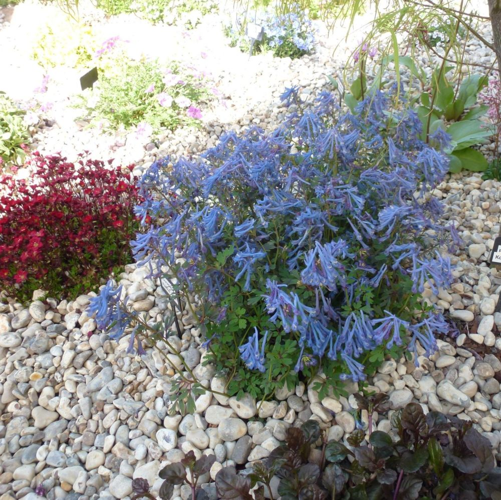 CORYDALIS flexuosa China Blue