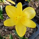 STERNBERGIA lutea (Autumn Daffodil) (Large pot of 5 bulbs)