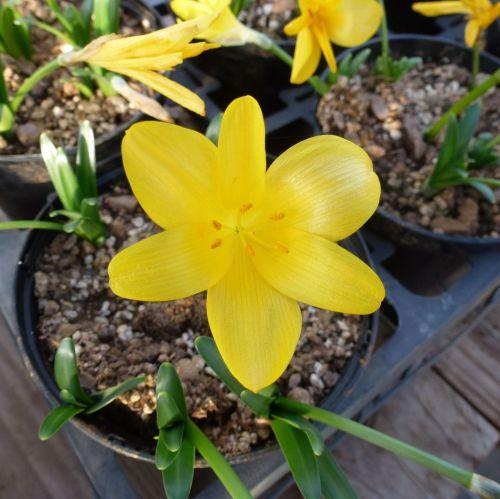 STERNBERGIA lutea (Autumn Daffodil) (Large pot of 5 bulbs)