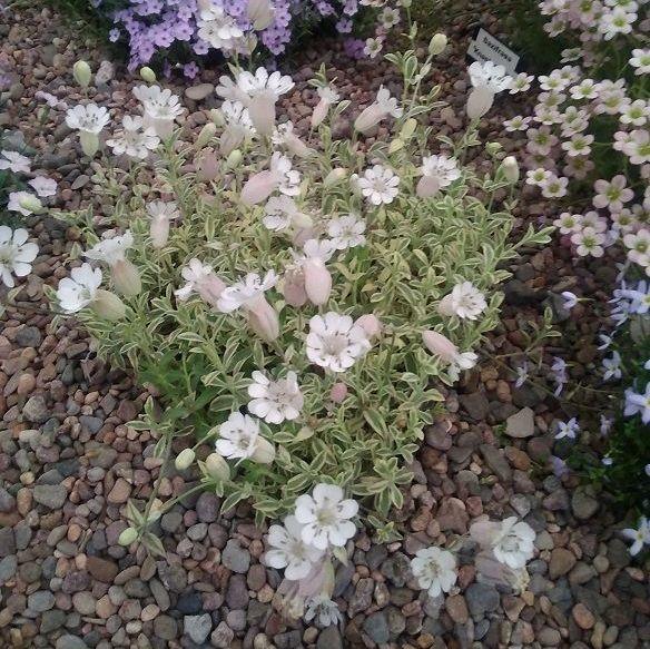 SILENE uniflora Druetts Variegated