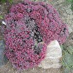 SEDUM cauticolum (stonecrop)