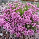 ASPERULA lilaciflora cespitosa