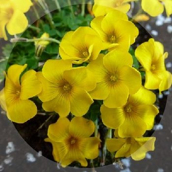 Clear yellow flowers are bourne September to October. Ideal in pans.