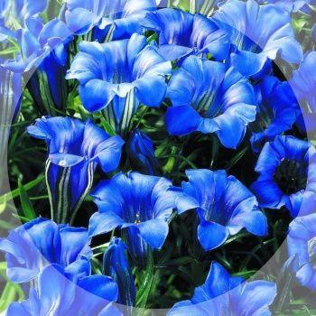 Wonderful blue trumpets during autumn.