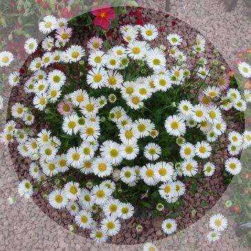 Masses of daisies all summer