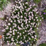 Antennaria dioca rosea