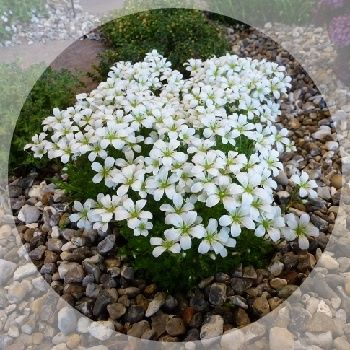 Early flowering saxifraga with an abundance of pure white flowers.