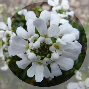 Easy evergreen with flat heads of pure white flowers.