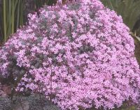ASPERULA arcadiensis (suberosa)