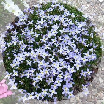 Masses of starry pale blue flowers in springg