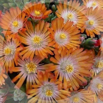 Lovely orange flowers with a white aye flowering all summer.