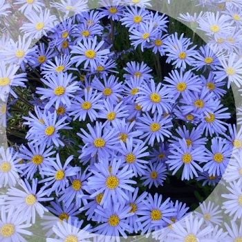 Lovely sky blue daisies during late spring.