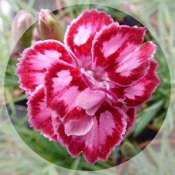 Fragrant  flowers all summer