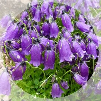 Beautiful purple bells  during June and July