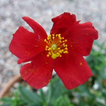 HELIANTHEMUM Red Dragon