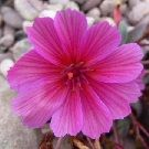 LEWISIA  longipetala Little Raspberry