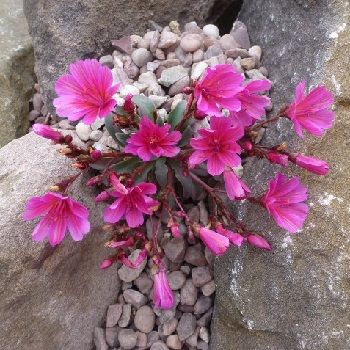 LEWISIA Little Raspberry