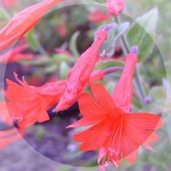 Intense orange red tubular flowers during late summer