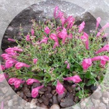 Snpdragon like flowers during summer