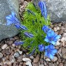 Gentiana compact form