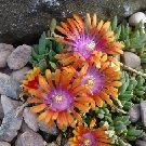 DELOSPERMA Fire Spinner (Ice plant)