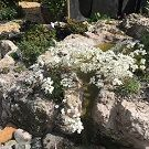 SAXIFRAGA longifolia Tumbling Waters