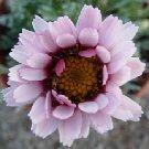RHODANTHEMUM Tizi-n-Tichka (Moroccan  daisy)