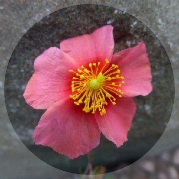 Prostrate rock rose