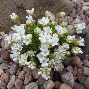 ARMERIA juniperifolia alba