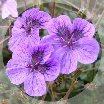 Long flowering all summer