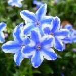 LITHODORA star