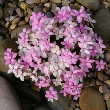 RHODOHYPOXIS baurii (pink)