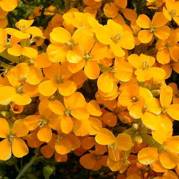 ERYSIMUM Orange Zwerg