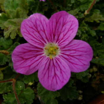 ERODIUM x variabile Bishops Form