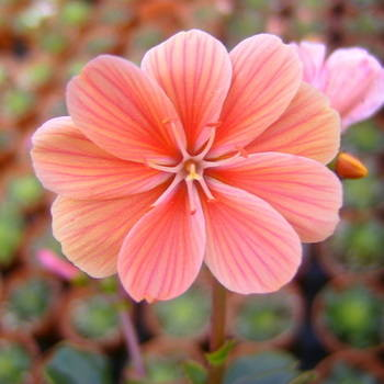 LEWISIA cotyledon(orange shades)