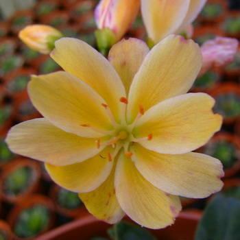 LEWISIA cotyledon(yellow shades)