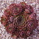 SEMPERVIVUM Rosie