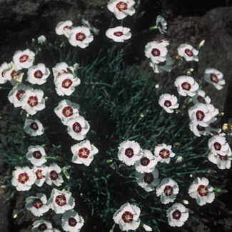 DIANTHUS Dainty Dame