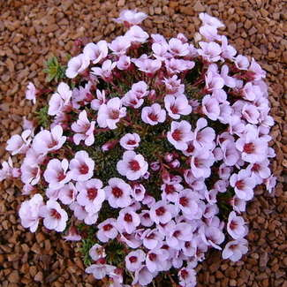 SAXIFRAGA x irvingii Mother of Pearl
