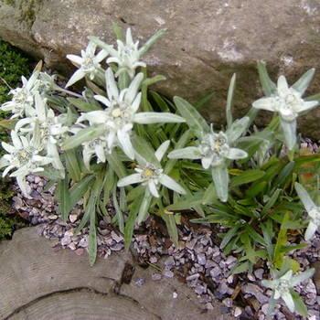 LEONTOPODIUM alpinum Mignon