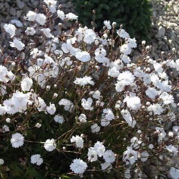 SILENE alpestris flore plena