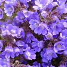 CHAENORHINIUM origanifolium Blue Dreams