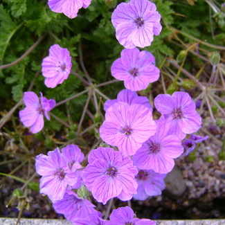 ERODIUM Maryla