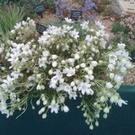CLEMATIS cartmanii Joe (Large 1 litre plants well budded)